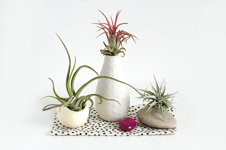 tillandsia-airplants