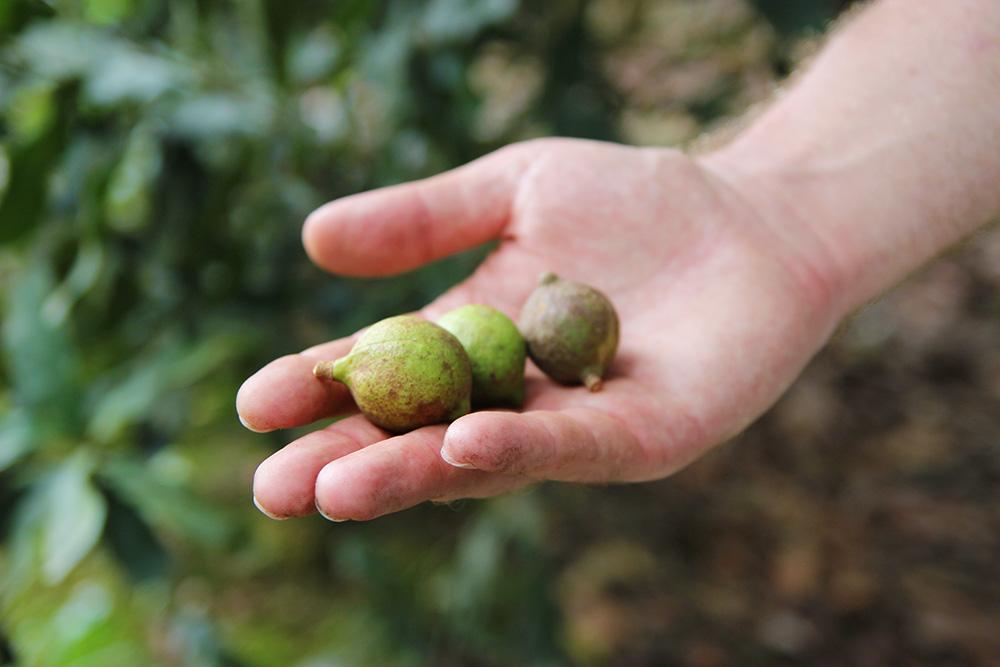 macadamia-fraiches