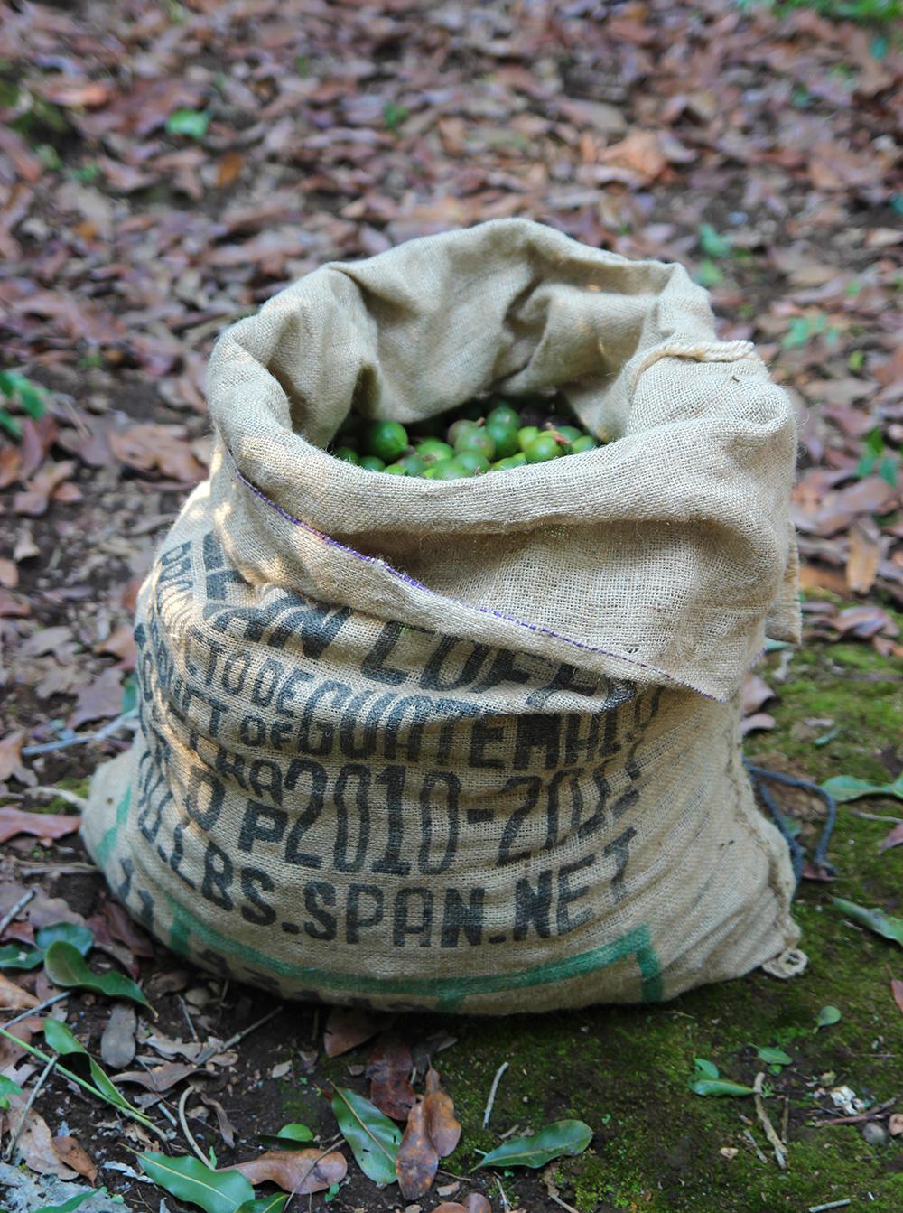 recolte-macadamias2