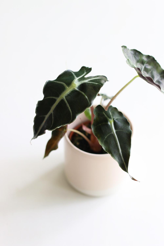 plantes-alocasia-polly