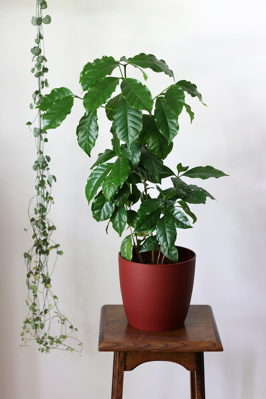 plantes-cafeier-arabica