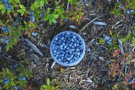 bleuets-sauvages-quebec