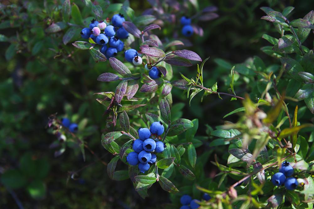 bleuets-sauvages-quebec5