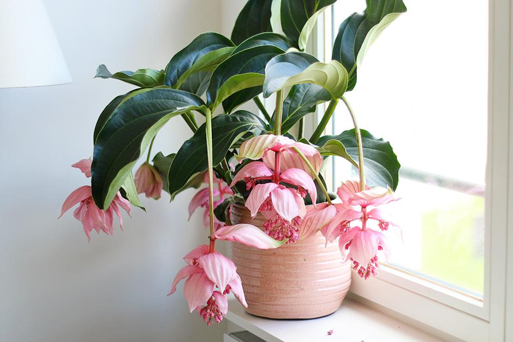 medinilla-magnifica-fleurs