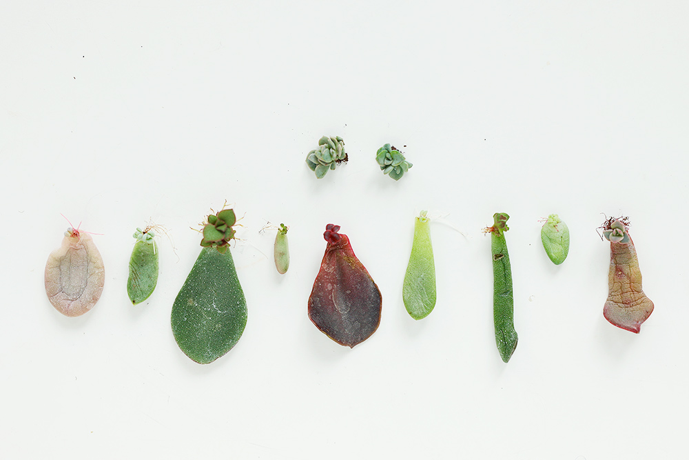 diy-boutures-succulentes-plantes-grasses3