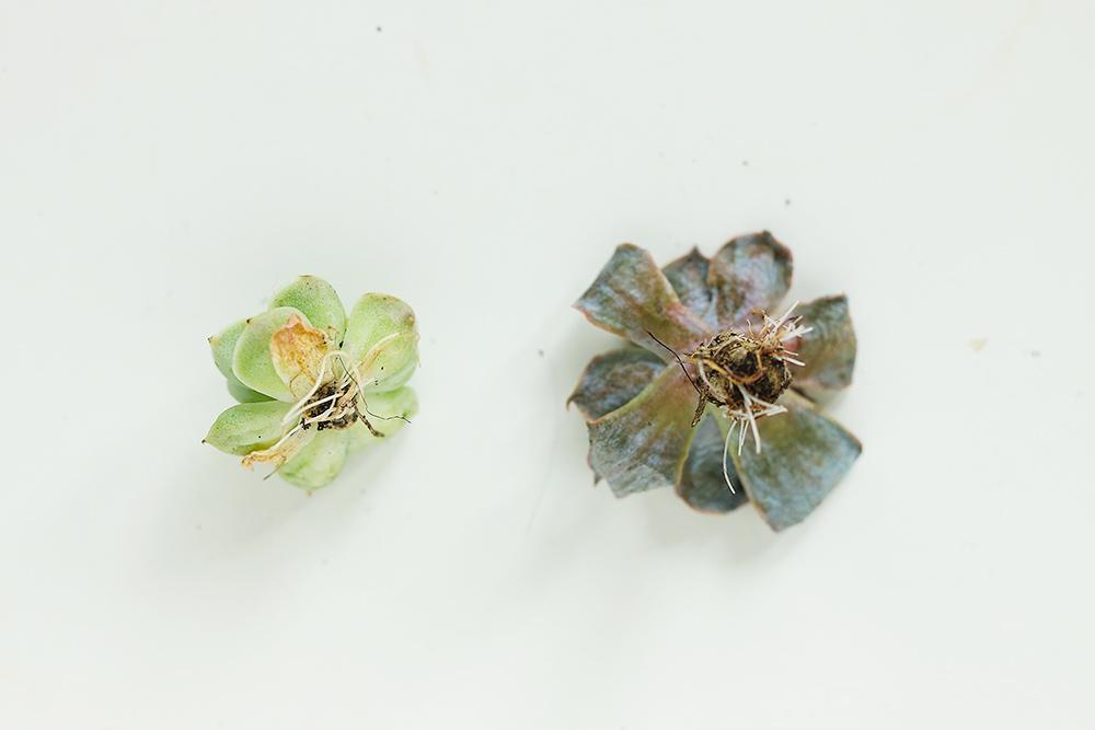 diy-boutures-succulentes-plantes-grasses5