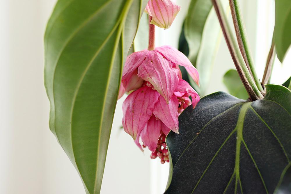 floraison-medinillamagnifica-2018