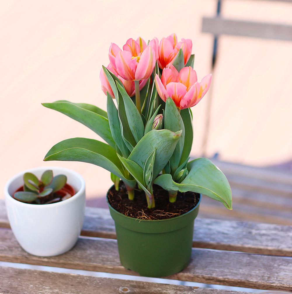 tulipes-mai2018