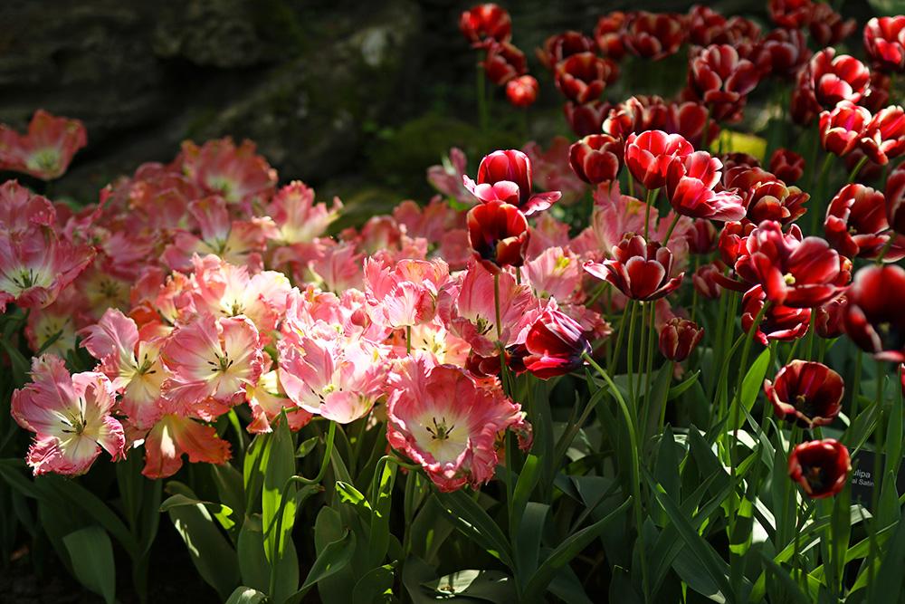 tulipes-keukenhof11