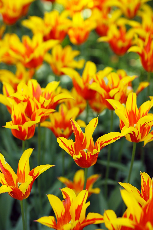 tulipes-keukenhof12