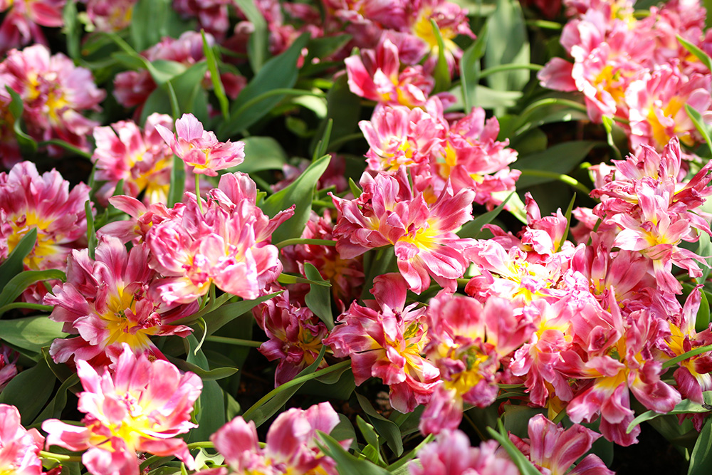 tulipes-keukenhof14