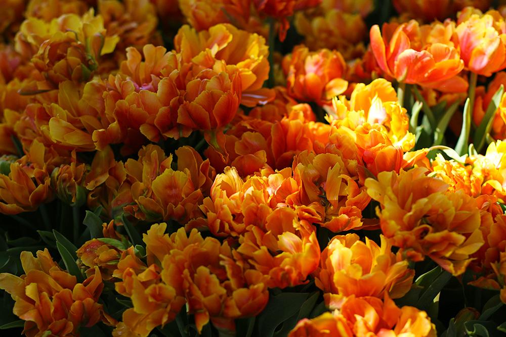 tulipes-keukenhof2