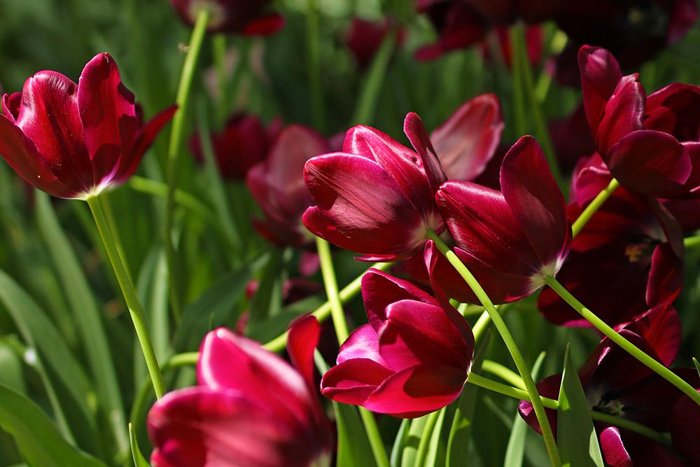 tulipes-keukenhof5