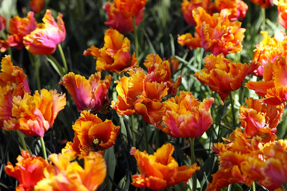 tulipes-keukenhof6