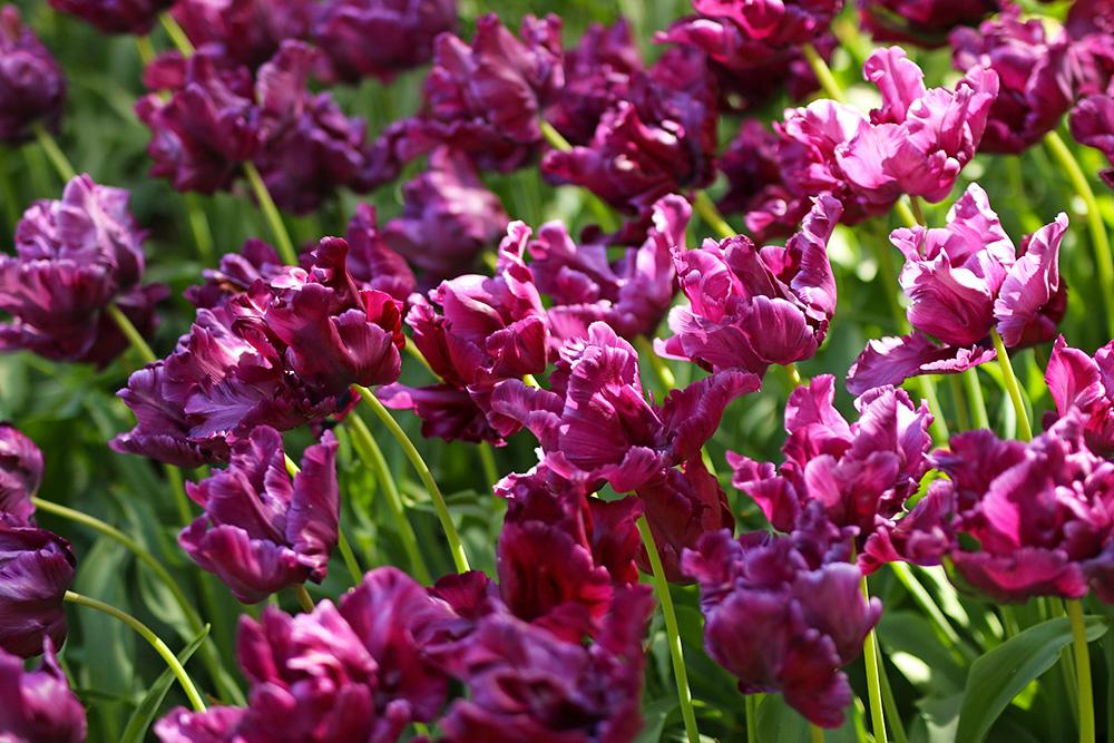 tulipes-keukenhof7