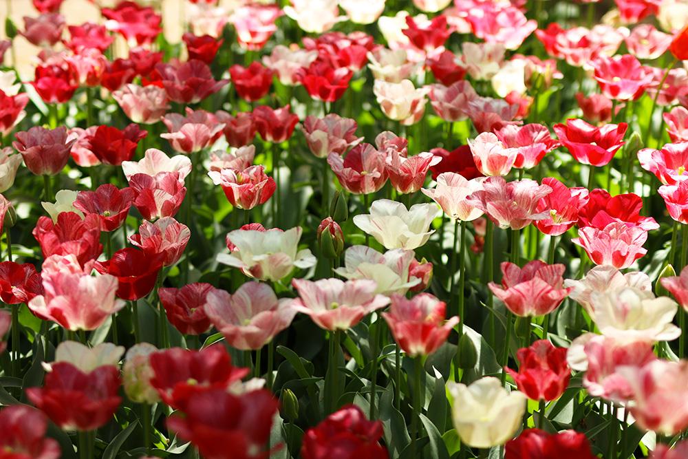 tulipes-keukenhof9