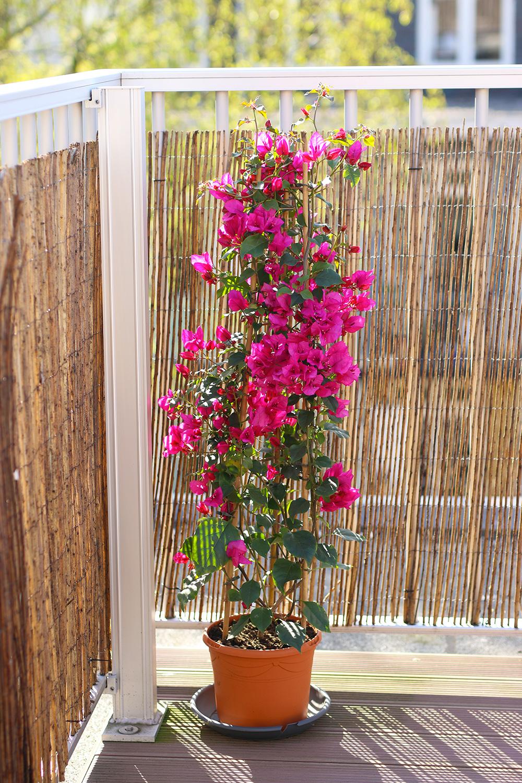 Petites Plantes Fleuries En Pot mes 15 plantes chouchoutes pour décorer un balcon - mango