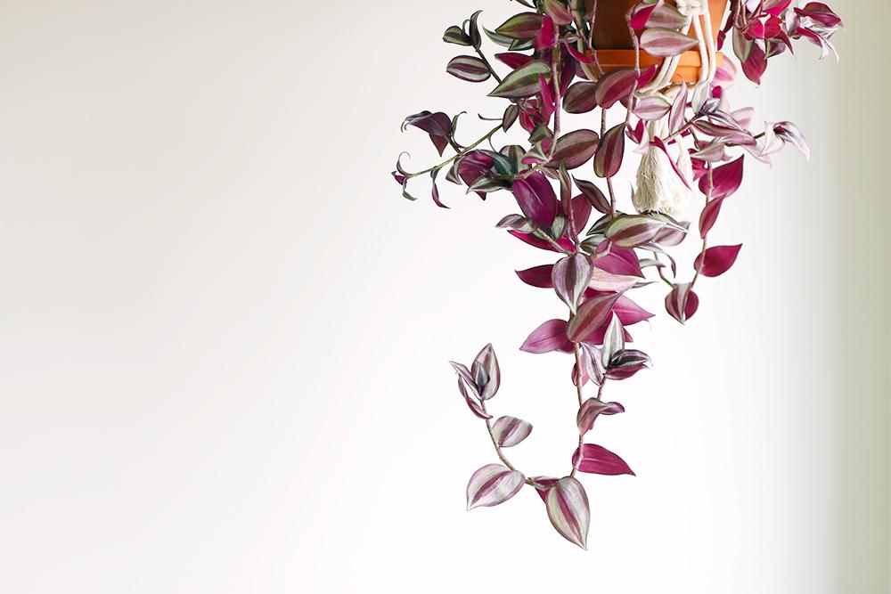 misere-zebrina-violette