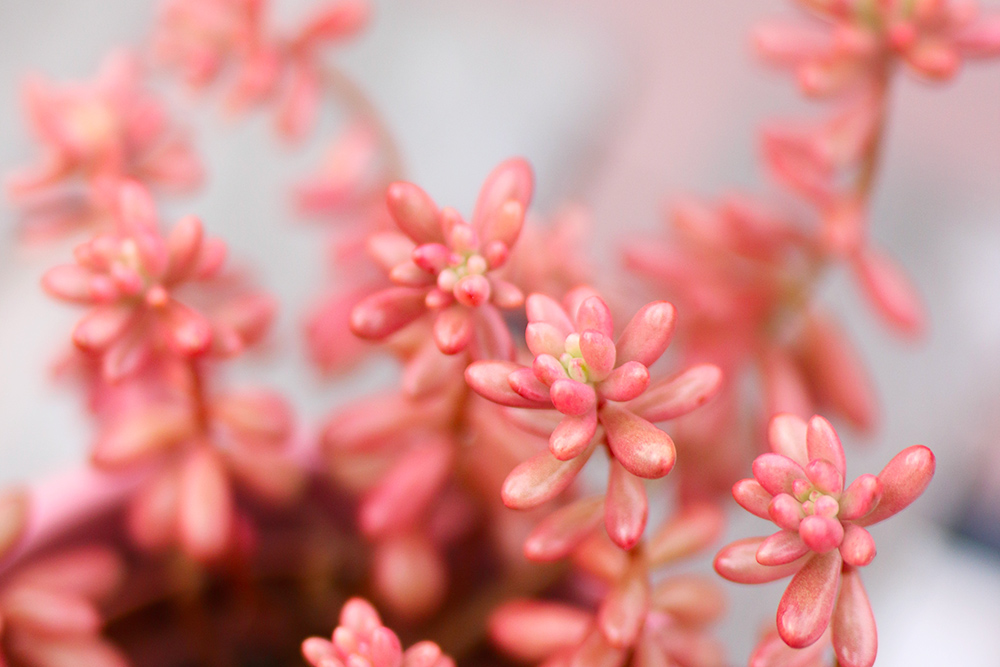sedum-rose-jelly-bean