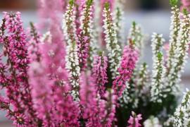 plantes-fleurs-automne-balcon3