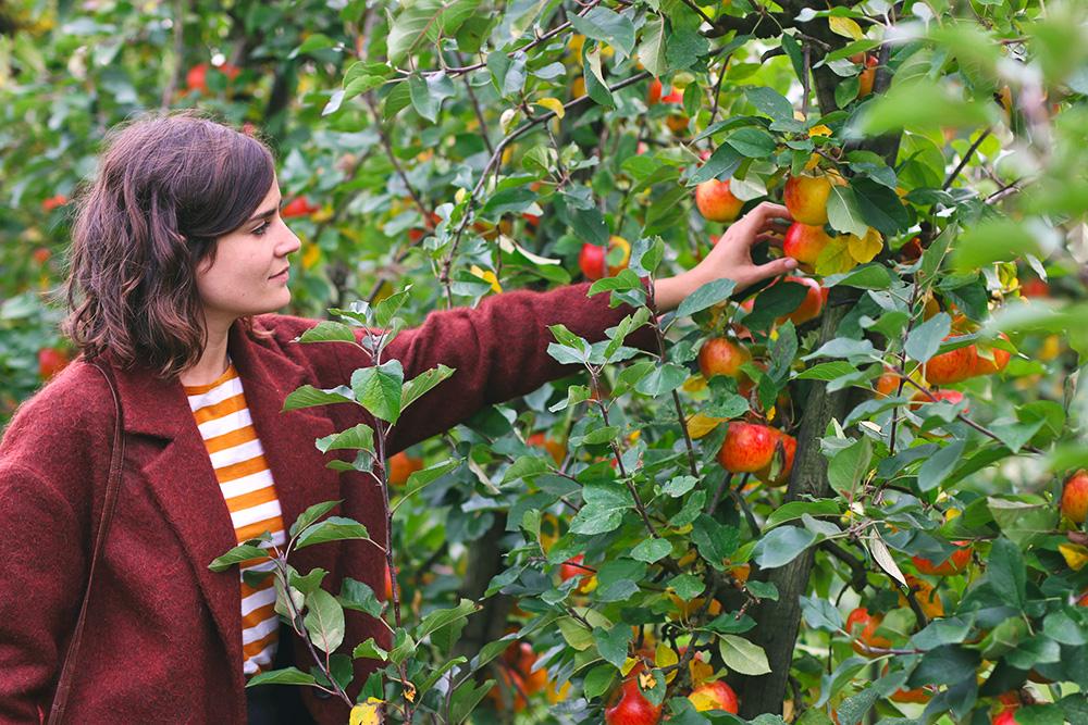 recoltes-automne-cueillette-pommes-amsterdam6
