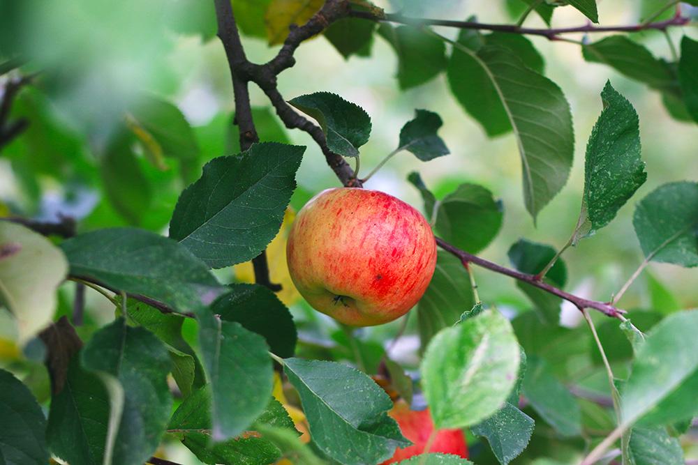 recoltes-automne-cueillette-pommes-amsterdam8