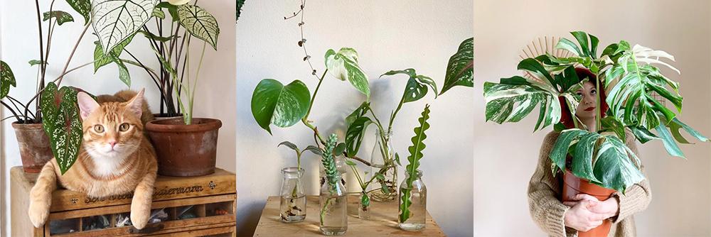 IG-plantesaddicts-sweetyoxalis