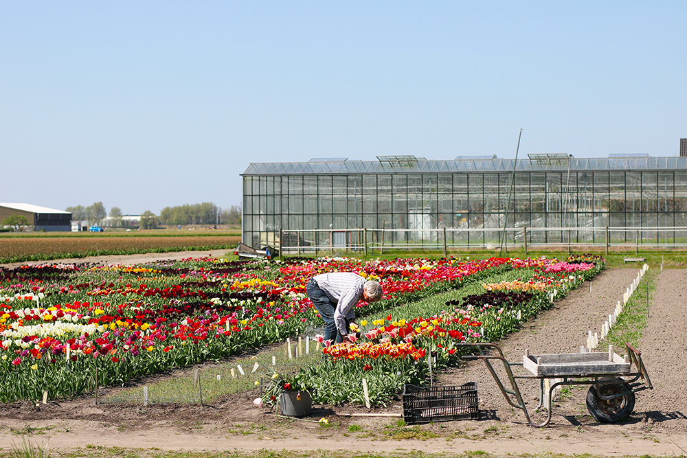 visite-champs-tulipes-lisse-hollande11