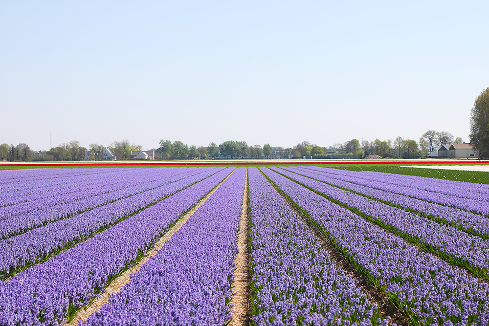 visite-champs-tulipes-lisse-hollande12