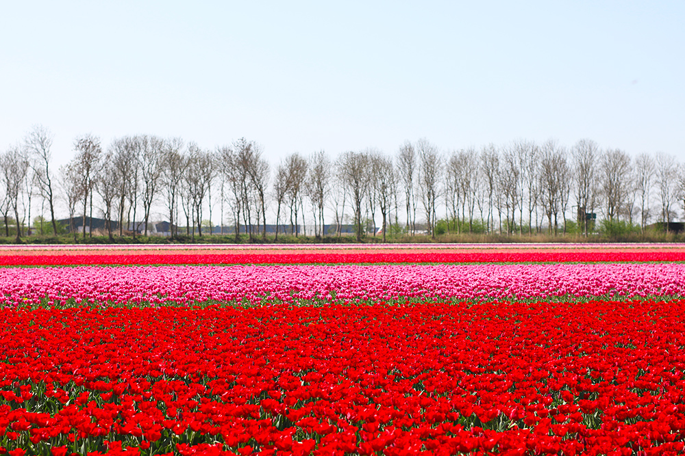 visite-champs-tulipes-lisse-hollande14