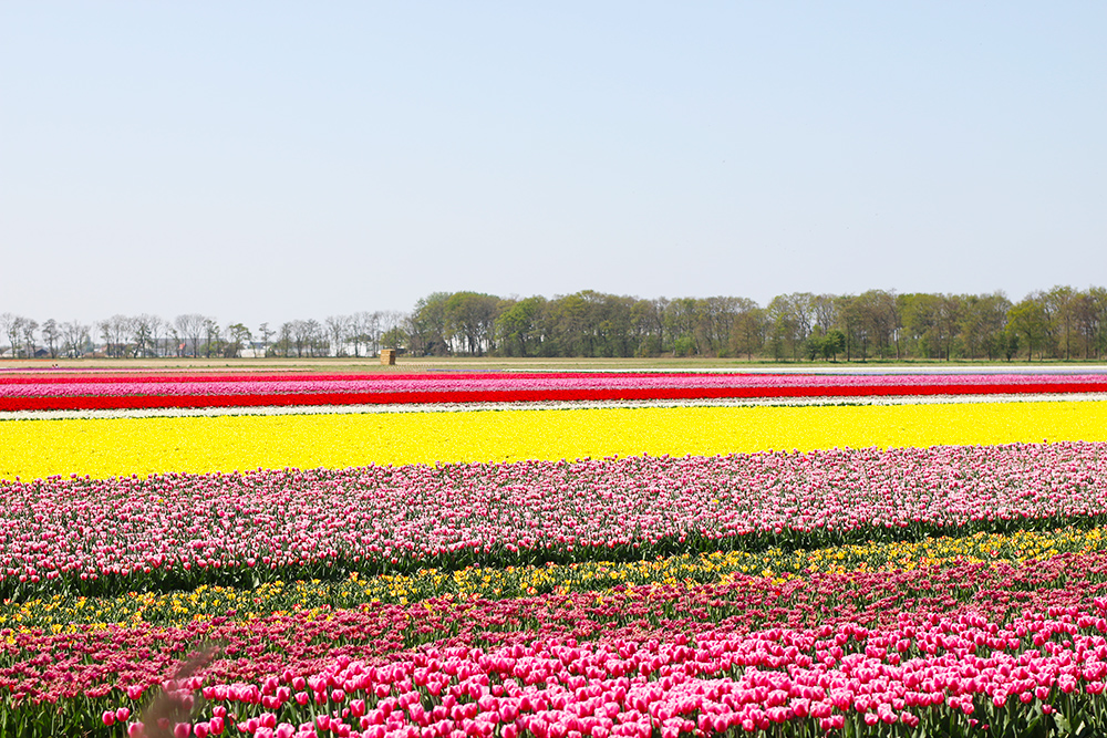 visite-champs-tulipes-lisse-hollande2
