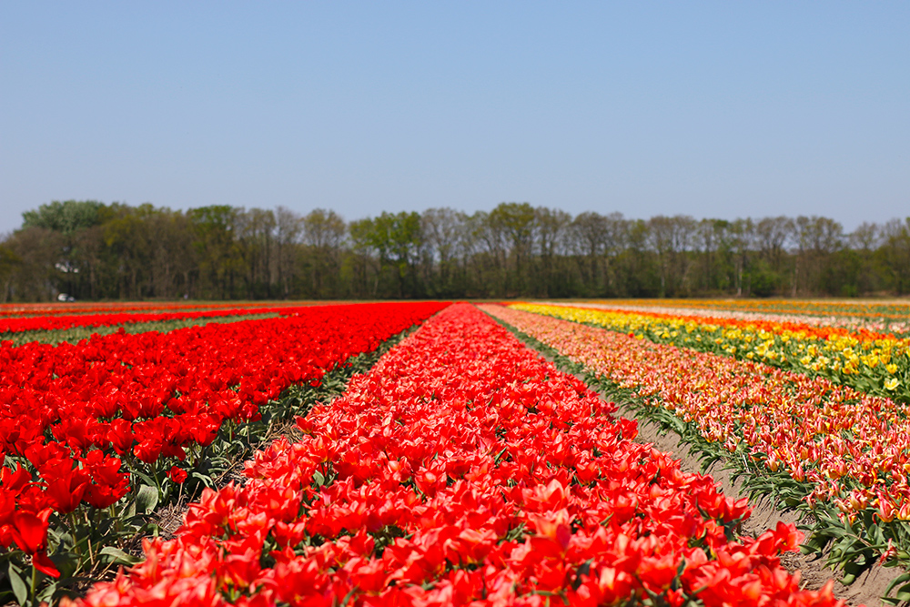 visite-champs-tulipes-lisse-hollande6