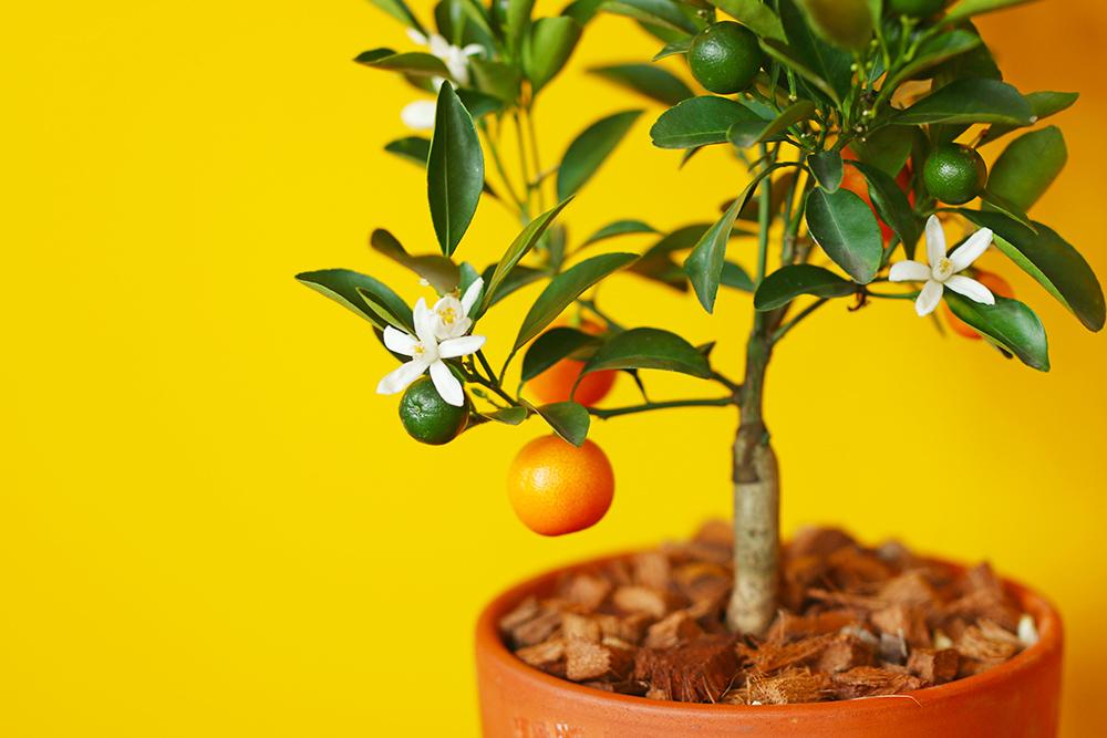 calamondin-oranger-appartement-entretien-recette