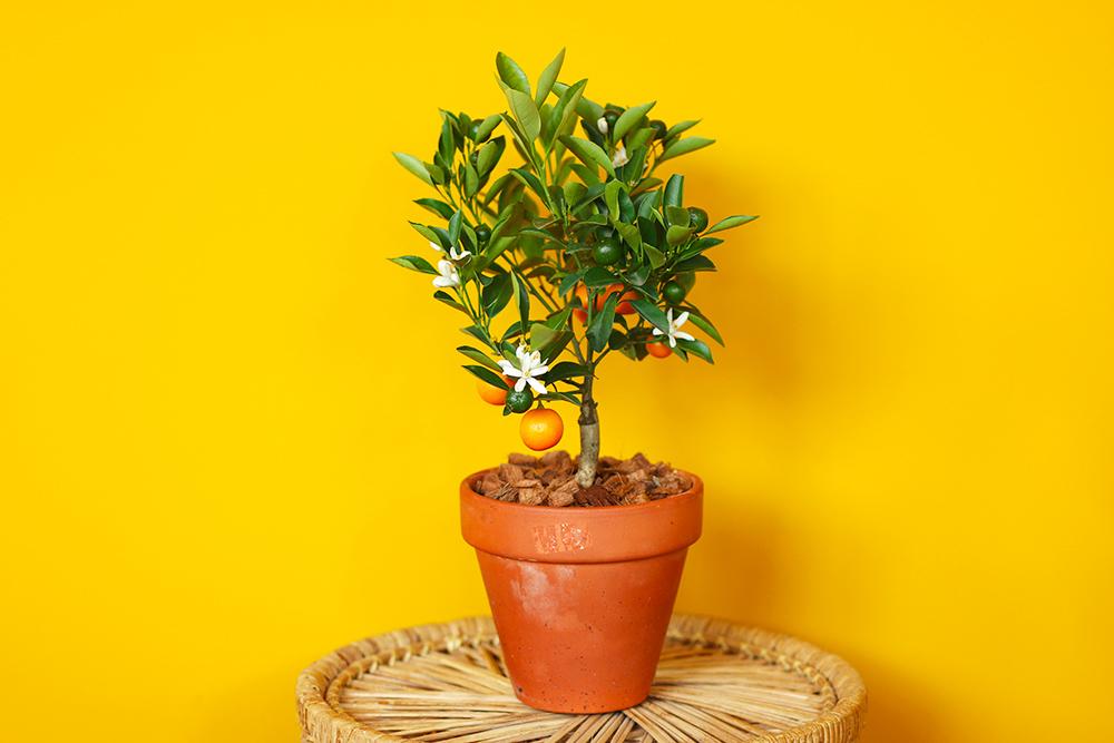 calamondin-oranger-appartement-entretien-recette2