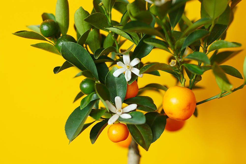 calamondin-oranger-appartement-entretien-recette3