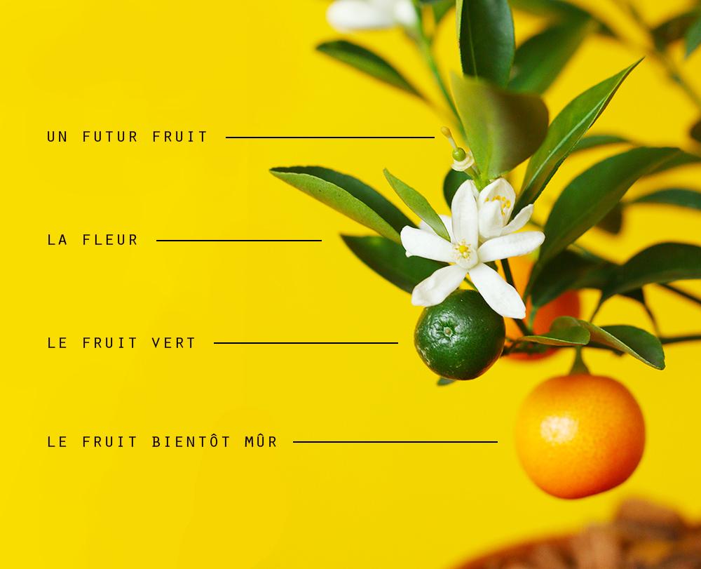 calamondin-oranger-appartement-entretien-recette4
