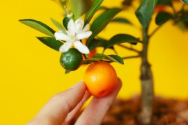 calamondin-oranger-appartement-entretien-recette6