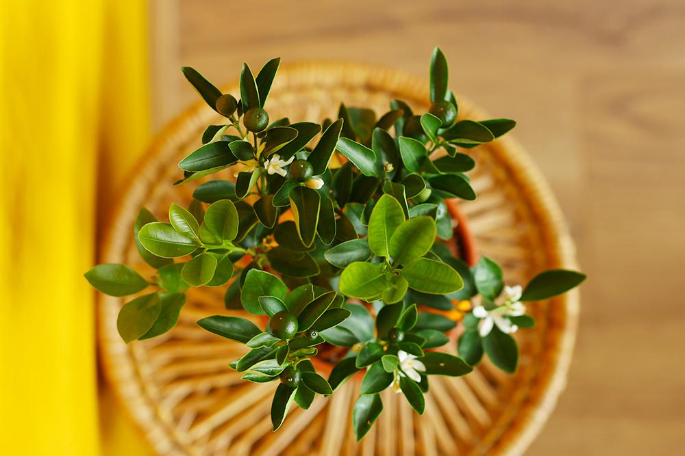 calamondin-oranger-appartement-entretien-recette7