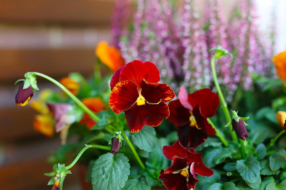 jardiniere-automne-bruyere-pensees2
