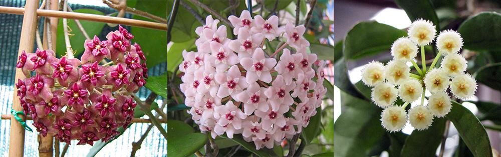 hoya-fleurs-exemples