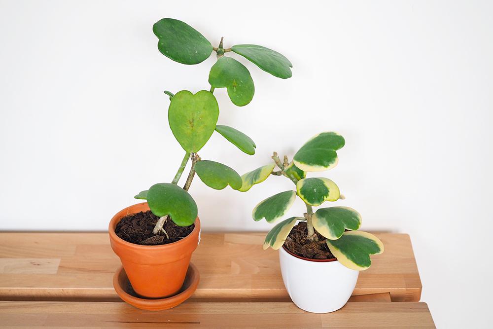 hoya-kerrii-variegata