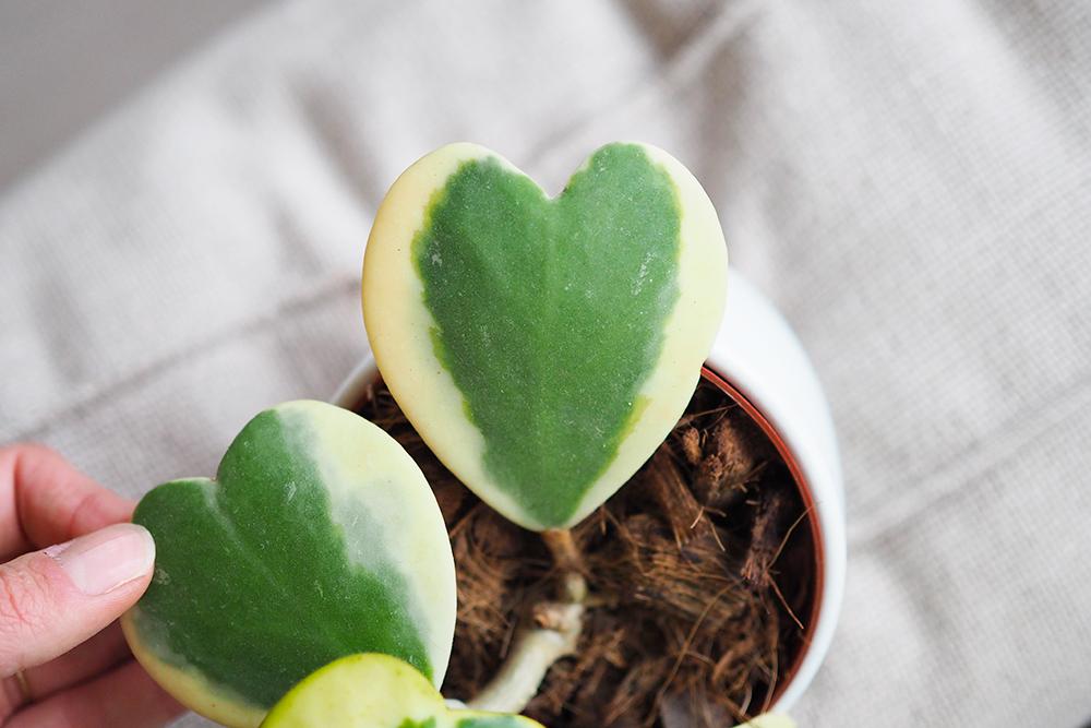 hoya-kerrii-variegata3