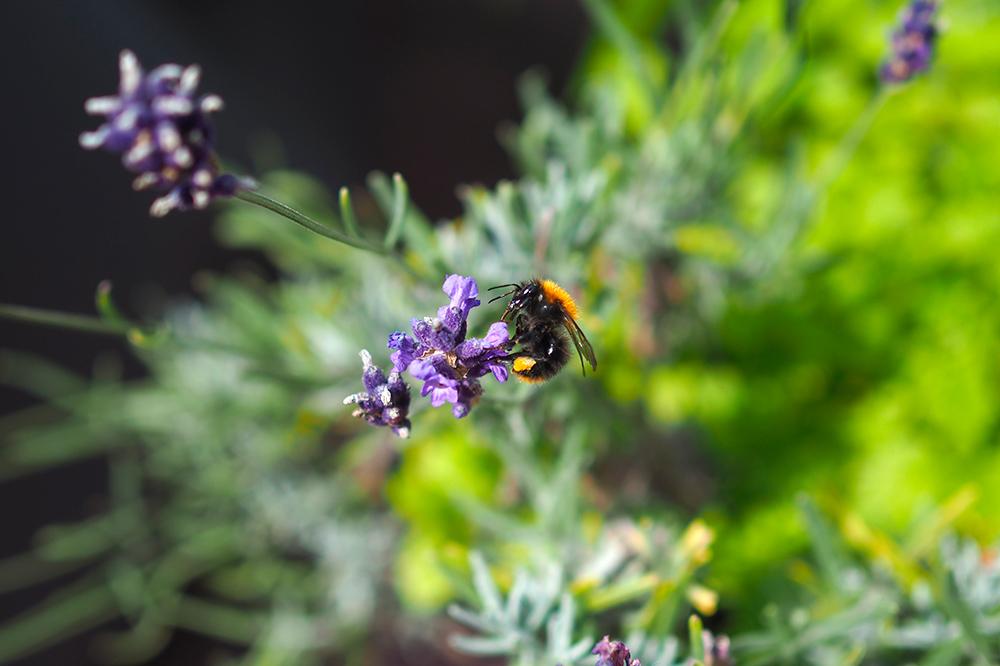 fleurs-pollinisateurs-aromates