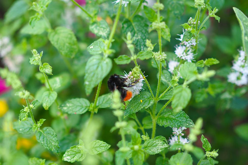 fleurs-pollinisateurs-aromates2