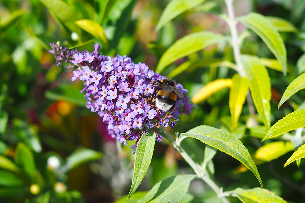 fleurs-pollinisateurs-buddleia
