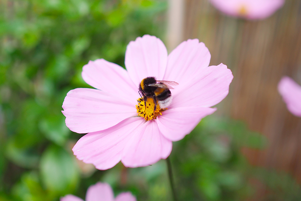 fleurs-pollinisateurs-cosmos