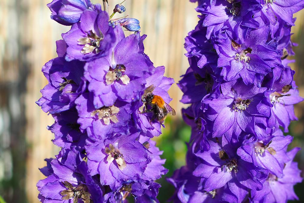fleurs-pollinisateurs-delphinium2