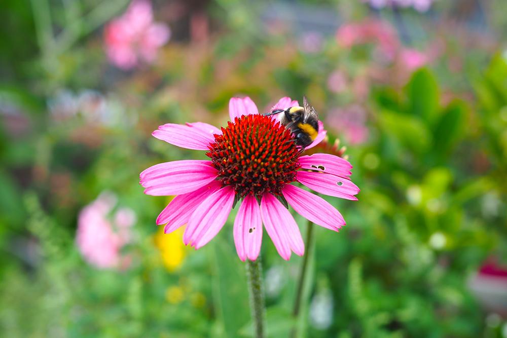 fleurs-pollinisateurs-echinacea2