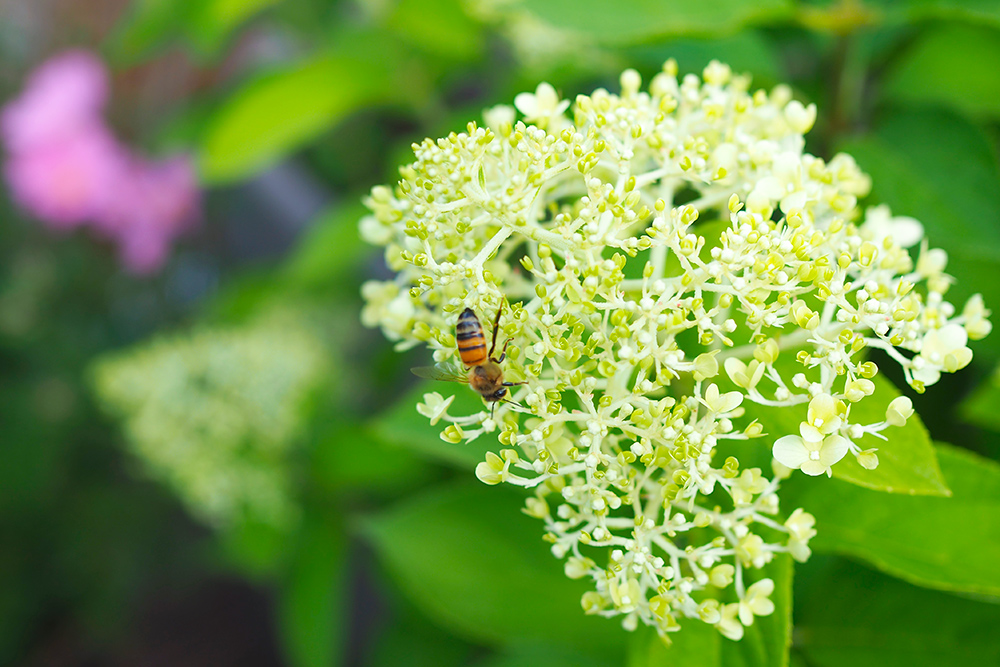 fleurs-pollinisateurs-hydrangea