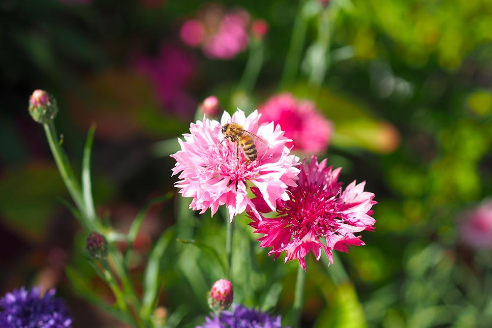 fleurs-pollinisateurs-oeilletmignardise